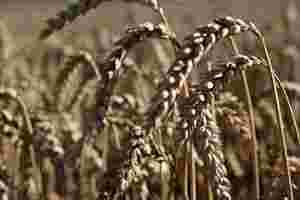 Zu sehen ist reifer Weizen, auf den Sonnenlicht fällt.
