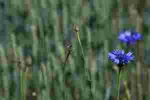 Zu sehen sind Kornblumen in einem Getreidefeld.