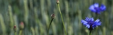 Kap3 seite12 bild kornblumen rebeccazeller
