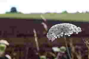 Zu sehen ist die Blüte eines Bärenklaus an einem Feldrand.