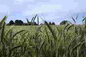 Zu sehen ist ein spätsommerliches Gerstenfeld.