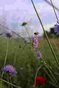 Zu sehen ist eine Wildbiene auf einer Acker-Witwenblume.