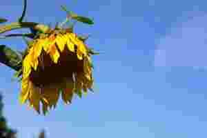 Zu sehen ist eine Sonnenblume mit hängender Blüte, die dadurch wirkt, als sei sie traurig.