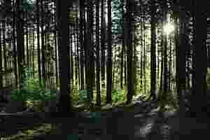 Zu sehen ist ein Nadelwald, durch den Sonnenlicht fällt.