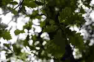 Zu sehen ist ein Ahornblätterdach.